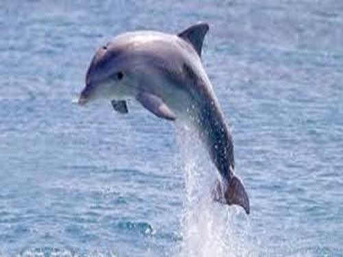 Dolphins visit Ventnor